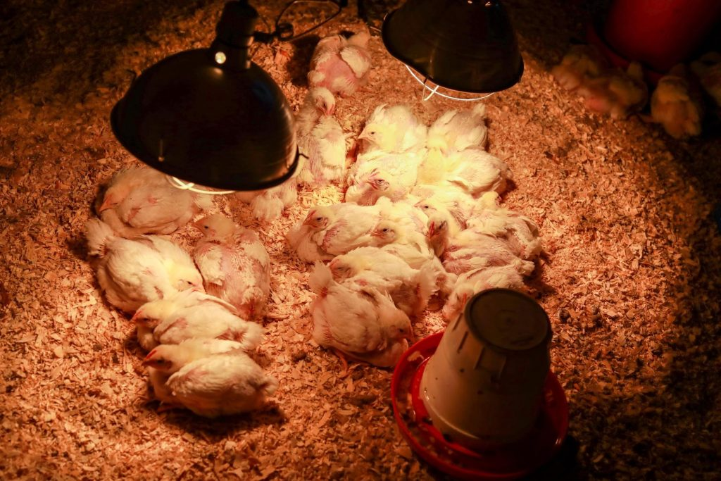 Young chickens sitting beneath heat lamps